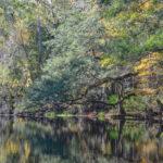 Oak overhangs river