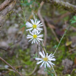 Small White Aster - Symphyotrichum racemosum