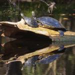 Sunning Turtles - River Rise