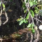 Sweet Pepperbush - Clethra alnifolia