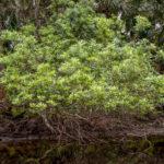 Wax Myrtle - Myrica cerifera - Withlacoochee River