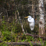 Great Egret on the Ichetucknee River