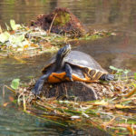 Ichetucknee Turtle