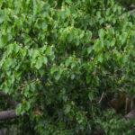 Camphor Tree - Cinnamomum camphora