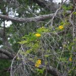 Carolina Yellow Jasmine - Gelsemium sempervirens