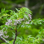 Chinaberry - Melia azedarach