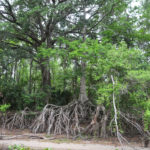 Exposed Cypress Roots on the Ocklawaha River