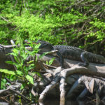 Happy Gator on the Ocklawaha River