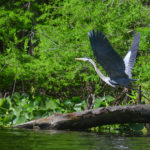 Heron takes flight on the Ocklawaha River