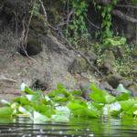 Plecostomus Holes - Upper Ocklawaha River