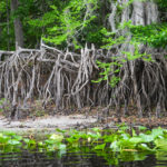 Spider-like Cypress roots