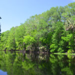 Wall of Cypresson the Ocklawaha River