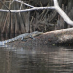 Young Gator on the Ocklawaha River